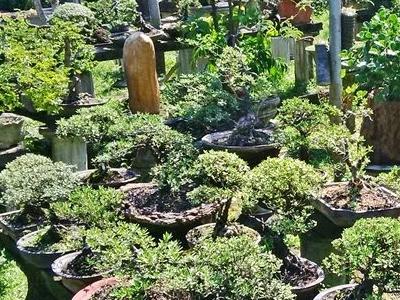 bonsai dan tanaman hias1